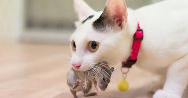 chat de ramener ses proies