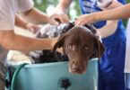 laver chien shampoing